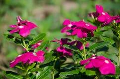 O pico miraculoso super do mose de Rosa ao longo do bom dia super Foto de Stock