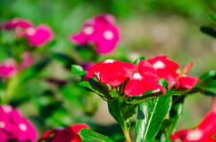 O pico miraculoso super do mose de Rosa ao longo do bom dia super Imagens de Stock Royalty Free
