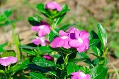 O pico miraculoso super do mose de Rosa ao longo do bom dia super Foto de Stock Royalty Free