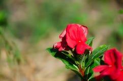 O pico miraculoso super do mose de Rosa ao longo do bom dia super Fotografia de Stock