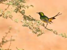 O pigmeu Sunbird fotografia de stock royalty free