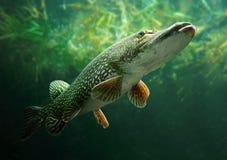 O Pike do norte (Esox Lucius). Fotografia de Stock Royalty Free
