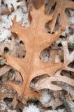 O Pin-carvalho sae da primeira neve Fotografia de Stock Royalty Free