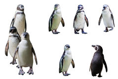 O pinguim Imagem de Stock Royalty Free