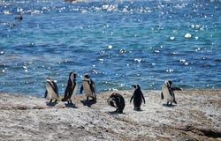 O pinguim africano da colônia, demersus do Spheniscus, em pedregulhos encalha perto de Cape Town África do Sul que relaxa no sol  foto de stock