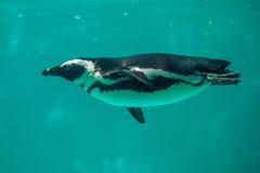 O pinguim africano nada na água no jardim zoológico de Tbilisi, o mundo Fotos de Stock Royalty Free