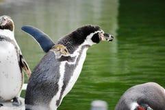 O pinguim está tentando saltar imagens de stock