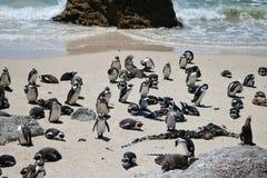 O pinguin africano em pedregulhos encalha na cidade de Simons imagem de stock royalty free
