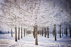 O pinheiro cobriu com a geada no inverno o parque da cidade Arquitectura da cidade do inverno Fotografia de Stock