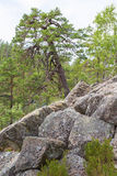 O pinheiro cresce nas rochas foto de stock