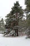O pinheiro gigantesco cobriu a neve da sagacidade em um ambiente do inverno imagem de stock royalty free