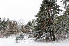 O pinheiro gigantesco cobriu a neve da sagacidade em um ambiente do inverno fotografia de stock