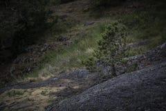 O pinheiro novo só cresce do musgo cobriu a pedra nas madeiras foto de stock