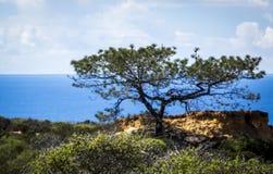 O pinheiro San Diego do torrey Fotos de Stock Royalty Free
