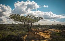 O pinheiro San Diego do torrey Foto de Stock