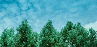 O pinho é uma árvore tropical imagens de stock
