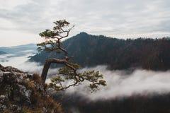 O pinho do Relict cresce de uma rocha nas montanhas imagens de stock royalty free