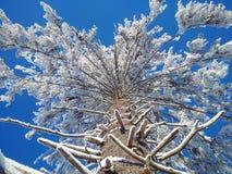 O pinho enorme com neve Fotos de Stock Royalty Free
