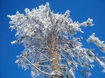 O pinho enorme com neve na floresta Foto de Stock