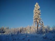 O pinho enorme com neve na floresta Imagem de Stock