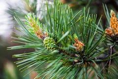 O pinho escocês ramifica com os cones masculinos e fêmeas Fotos de Stock Royalty Free