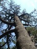 O pinho o mais velho da Bulgária no parque nacional do Pirin Fotos de Stock Royalty Free