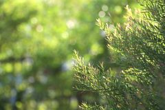 O pinho natural folheia fundo com foco seletivo fotos de stock royalty free