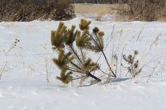 O pinho pequeno do inverno na neve foto de stock royalty free