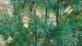 O pinho ramifica com os cones que balançam no vento Close-up Ramos verdes novos de um pinho ou de uma árvore de abeto que acenam  video estoque