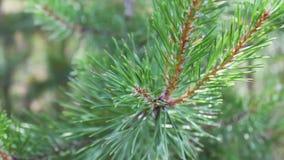 O pinho ramifica com os cones que balançam no vento Close-up Ramos verdes novos de um pinho ou de uma árvore de abeto que acenam  filme