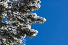 O pinho ramifica na neve contra o céu azul Fotos de Stock Royalty Free