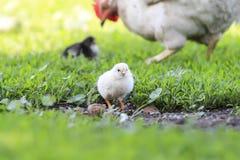 o pintainho amarelo anda através da jarda com a galinha em um dia de verão ensolarado Fotografia de Stock Royalty Free