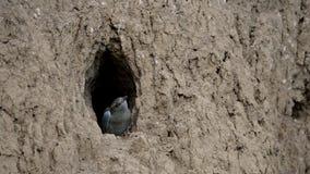 O pintainho do pássaro do rolo europeu prepara-se para voar fora do furo-ninho video estoque