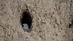 O pintainho do pássaro do rolo europeu prepara-se para voar fora do furo-ninho vídeos de arquivo