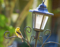 O pintassilgo amarelo pequeno empoleira-se em um alimentador do pássaro. Fotografia de Stock Royalty Free
