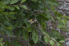 O pintassilgo europeu, carduelis do Carduelis, empoleirou-se no principiante de alimentação da folha da árvore durante junho em s imagem de stock