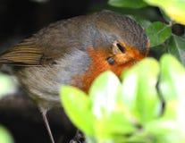 O pisco de peito vermelho com um tiquetaque sob ele é olho Fotografia de Stock