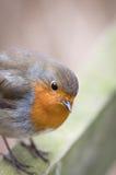 O pisco de peito vermelho europeu Fotos de Stock Royalty Free