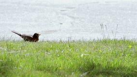 O pisco de peito vermelho recolhe o alimento em um gramado dianteiro filme