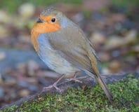 O pisco de peito vermelho selvagem apareceu Fotografia de Stock