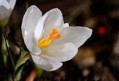 O pistilo do açafrão, flor do açafrão, mola floresce Imagens de Stock Royalty Free