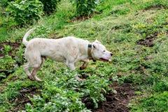 O pitbull branco do cão está caçando para um montante Os animais são burro humano Imagens de Stock Royalty Free