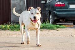 O pitbull branco do cão que corre ao longo da estrada perto do car_ fotos de stock
