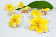 O plumeria amarelo floresce, flores tropicais do frangipani amarelo Imagens de Stock Royalty Free