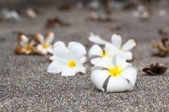 O plumeria branco floresce no fundo de madeira, flor do frangipani Imagem de Stock