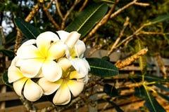 O Plumeria floresce a flor em uma árvore no tempo do nascer do sol no fundo borrado imagens de stock