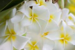 O Plumeria (frangipani) floresce na árvore Imagens de Stock