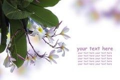 O Plumeria (frangipani) floresce na árvore Imagem de Stock