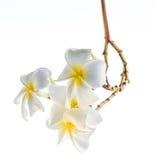 O Plumeria (frangipani) floresce na árvore Fotos de Stock Royalty Free