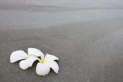 O Plumeria (frangipani) floresce na praia Fotos de Stock
